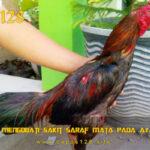Panduan Mengobati Sakit Saraf Mata Pada Ayam Aduan
