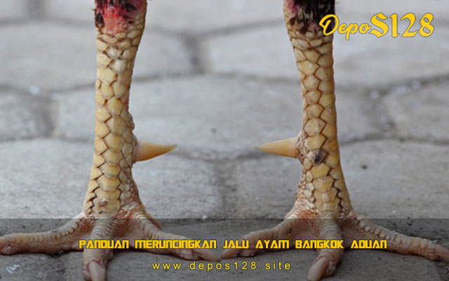 Panduan Meruncingkan Jalu Ayam Bangkok Aduan