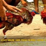 Sabung Ayam Online S128 Pisau Filipina Paling Mematikan
