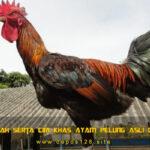 Sejarah Serta Ciri Khas Ayam Pelung Asli Cianjur