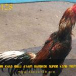 Ciri Khas Bulu Ayam Bangkok Super Yang Mematikan