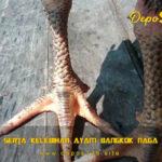 Ciri Khas Serta Kelebihan Ayam Bangkok Naga Temurun