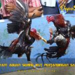 Dampak Ayam Aduan Sering Ikut Pertandingan Sabung Ayam