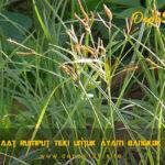 Manfaat Rumput Teki Untuk Ayam Bangkok Aduan