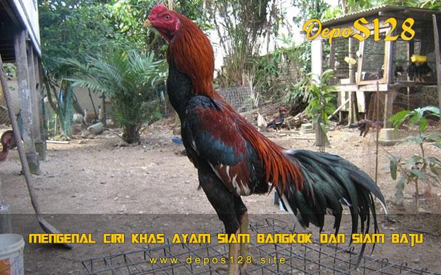 Mengenal Ciri Khas Ayam Siam Bangkok Dan Siam Batu