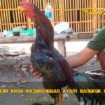Mengenal Ciri Khas Katuranggan Ayam Bangkok Suro Dukun