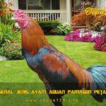 Mengenal Jenis Ayam Aduan Pamagon Petarung