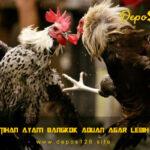 Tips Latihan Ayam Bangkok Aduan Agar Lebih Agresif