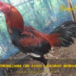 Tips Mengetahui Ciri Ayam Lancuran Berkualitas