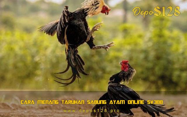 Cara Menang Taruhan Sabung Ayam Online SV388