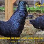 Cara Mengetahui Ciri Khas Ayam Kedu Kualitas Terbaik