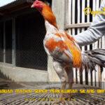 Ciri Ayam Aduan Mathai Super Perkawinan Silang Birma Bangkok