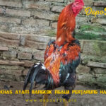 Ciri Khas Ayam Bangkok Ngawi Pertarung Handal