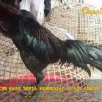 Mengenal Ciri Khas Serta Kehebatan Ayam Aduan Songgo Bumi