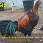 Mengenal Tentang Jenis Ayam Madenan Aduan Legendaris