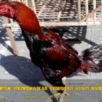 Panduan Untuk Meningkatkan Kegesitan Ayam Bangkok Aduan
