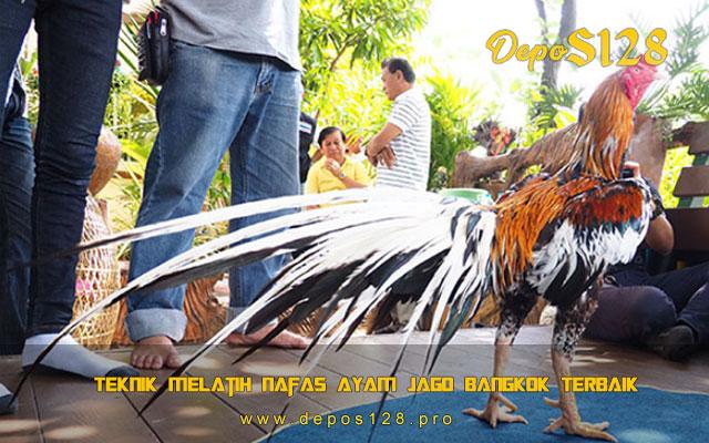 Teknik Melatih Nafas Ayam Jago Bangkok Terbaik