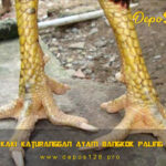 Tipe Sisik Kaki Katuranggan Ayam Bangkok Paling Mematikan