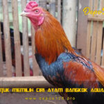 Tips Untuk Memilih Ciri Ayam Bangkok Aduan Super