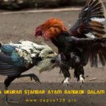 Bobot Serta Ukuran Standar Ayam Bangkok Dalam Arena S128