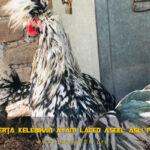 Ciri Serta Kelebihan Ayam Laced Aseel Asli Pakistan