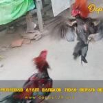 Faktor Penyebab Ayam Bangkok Tidak Berani Bertarung