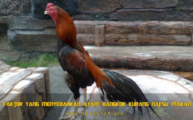 Faktor Yang Menyebabkan Ayam Bangkok Kurang Nafsu Makan