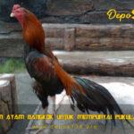 Latihan Ayam Bangkok Untuk Mempunyai Pukulan Kuat