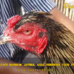 Mengenal Ayam Bangkok Jambul Asal Indonesia Yang Mulai Langka