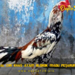 Mengenal Ciri Khas Ayam Blorok Madu Petarung Hebat