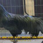 Mengenal Jenis Ayam Black Sumatra Yang Hampir Punah