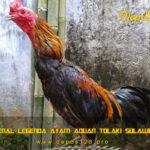 Mengenal Legenda Ayam Aduan Tolaki Sulawesi Asli