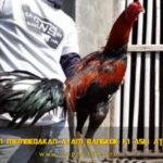 Panduan Membedakan Ayam Bangkok F1 Asli Atau Palsu