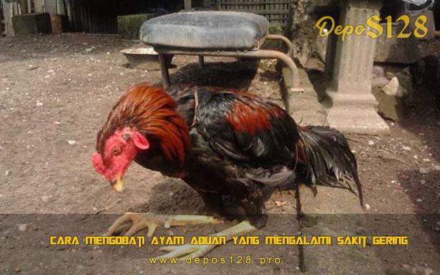 Cara Mengobati Ayam Aduan Yang Mengalami Sakit Gering