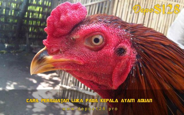 Cara Perawatan Luka Pada Kepala Ayam Aduan