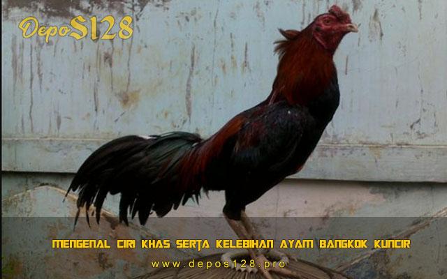 Mengenal Ciri Khas Serta Kelebihan Ayam Bangkok Kuncir