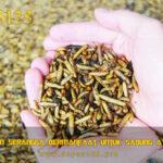 Jenis Pakan Serangga Bermanfaat Untuk Sabung Ayam Aduan