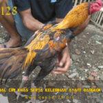 Mengenal Ciri Khas Serta Kelebihan Ayam Bangkok Gondang