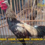 Mengenal Sabung Ayam Super Kradungton Asli