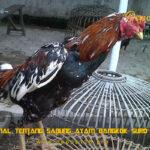 Mengenal Tentang Sabung Ayam Bangkok Suro Kopyor