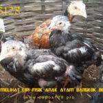 Panduan Melihat Ciri Fisik Anak Ayam Bangkok Berkualitas