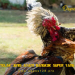 Simbar Telak Jenis Ayam Bangkok Super Yang Langka