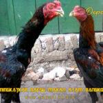 Tips Meningkatkan Nafsu Makan Ayam Bangkok Kurus