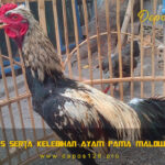 Ciri Khas Serta Kelebihan Ayam Pama Malow Krawing