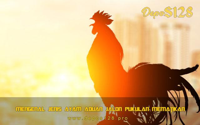Mengenal Jenis Ayam Aduan Jalon Pukulan Mematikan