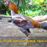 Mengenal Tentang Jenis Ayam Bangkok Aduan Klawu Geni