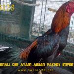Mengenali Ciri Ayam Aduan Pakhoy Impor Super