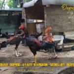Panduan Doping Ayam Bangkok Sebelum Bertarung