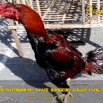 Panduan Menyembuhkan Ayam Bangkok Aduan Yang Susah Tidur