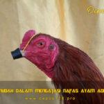 Panduan Mudah Dalam Mengatasi Nafas Ayam Aduan Pendek